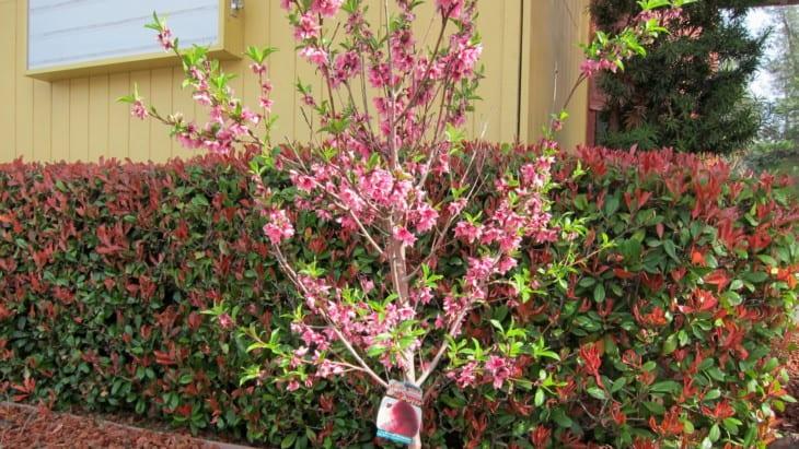 Prunus persica Le Grand Nectarine
