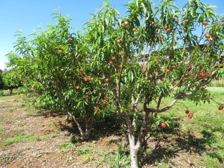 Prunus persica var nucipersica Sunraycer