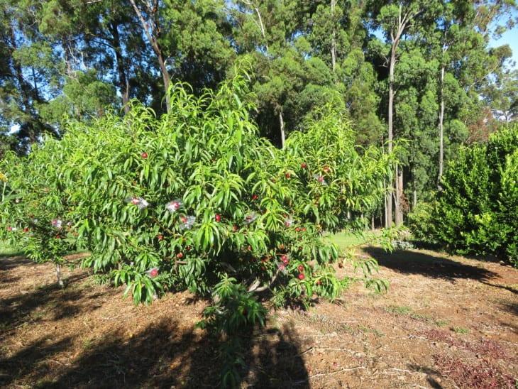 Prunus persica var nucipersica Sunred