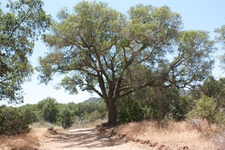Quercus agrifolia Coast Live Oak.