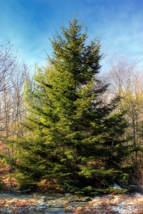 Red spruce Picea rubens
