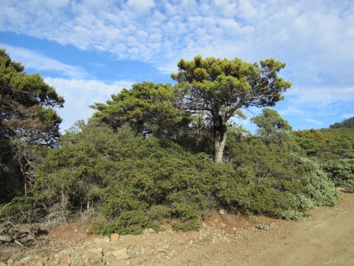 Sargent Cypress Cupressus sargentii