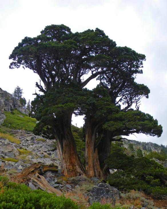 Sierra juniper Juniperus occidentalis