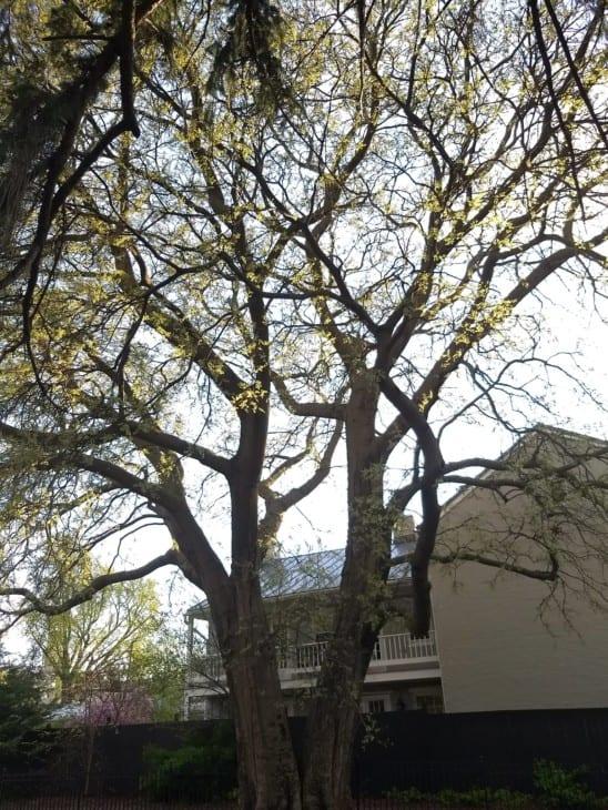 Sugarberry tree Celtis laevigata