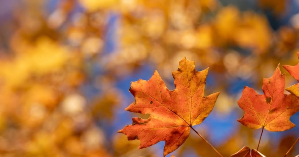 The Southern Sugar Maple is native to the state of Louisiana
