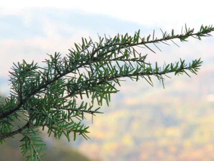 Tsuga caroliniana foliage