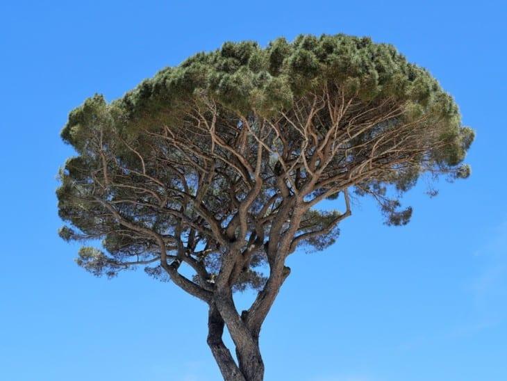 Umbrella Pine or Stone Pine Pinus Pinea