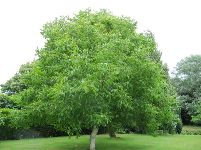 Walnut tree Juglans