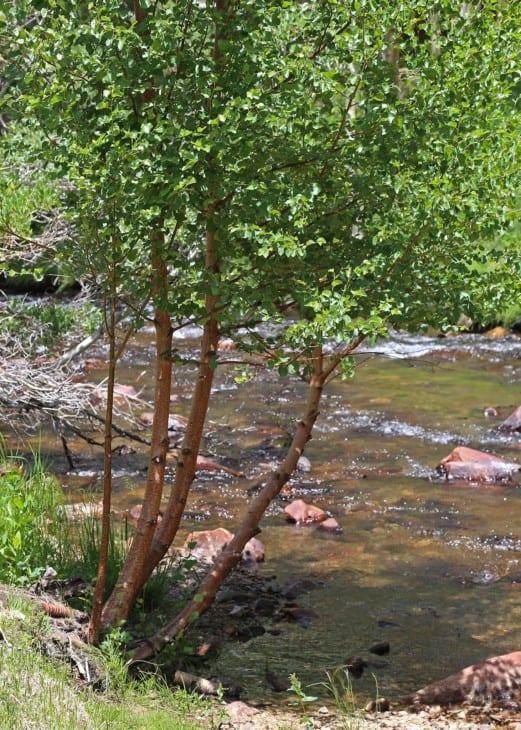 Water birch Betula occidentalis