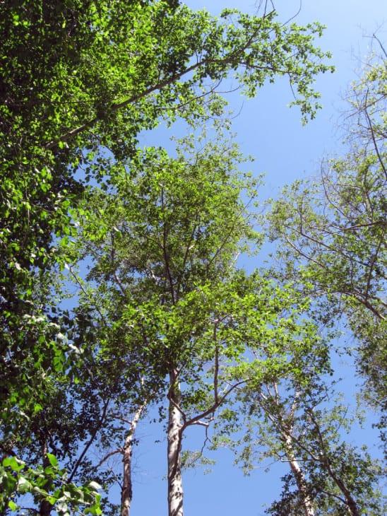 White Alder Alnus rhombifolia.
