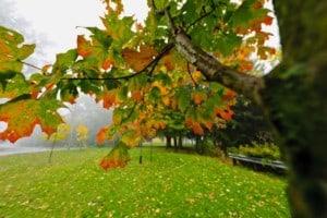 Fall maple tree in foggy park in Oklahoma