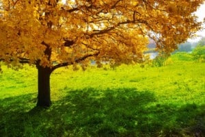Maple tree in park near river at autumn in Virginia