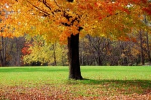 Maple trees in Kansas