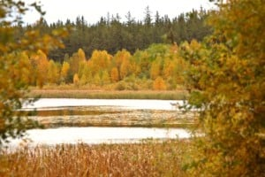 Marshlands and Aspen trees in fall Saskatchewan Canada