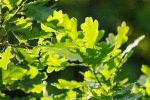 Oak trees in Maryland