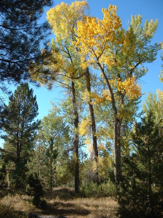 Populus angustifolia narrowleaf cottonwood