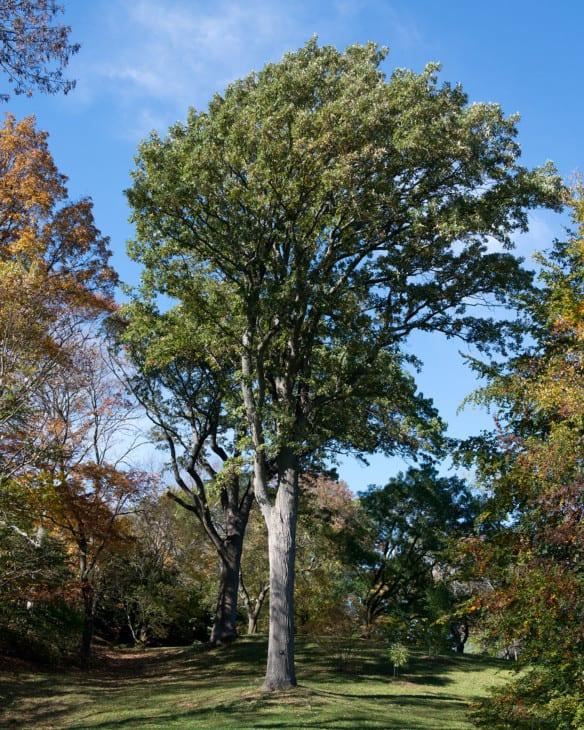 Quercus macrocarpa Bur Oak