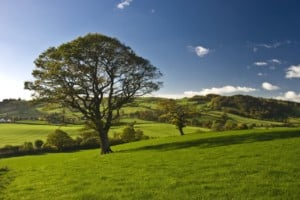 The English oak tree stand solitary in the countryside