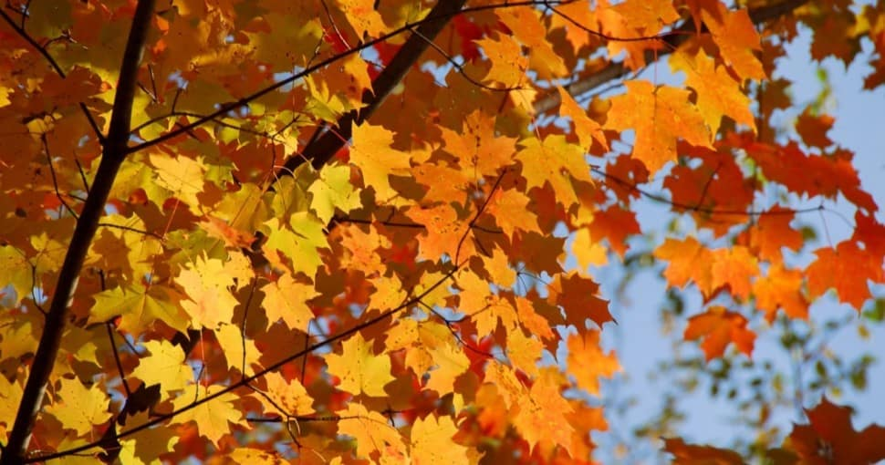 Types Of Maple Trees In Ontario