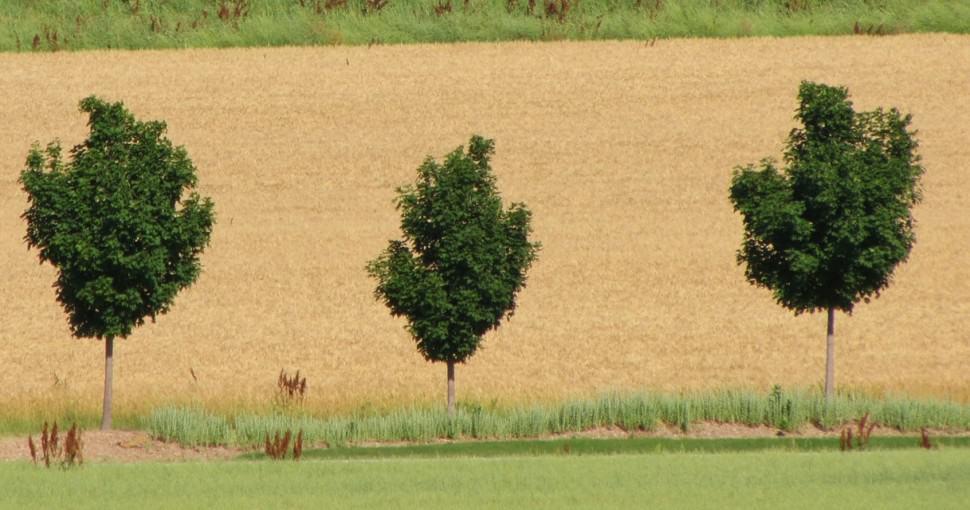 Wheat field with maple trees in Buffalo County Nebraska