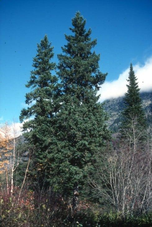 White Spruce Picea glauca