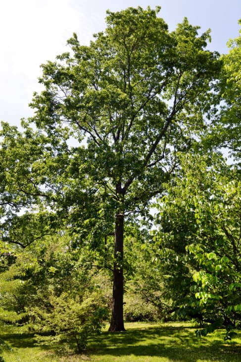Carya glabra Pignut Hickory