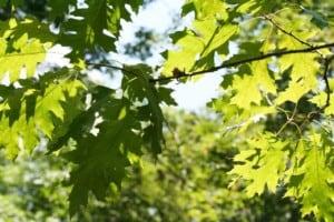 Oak trees in North Dakota